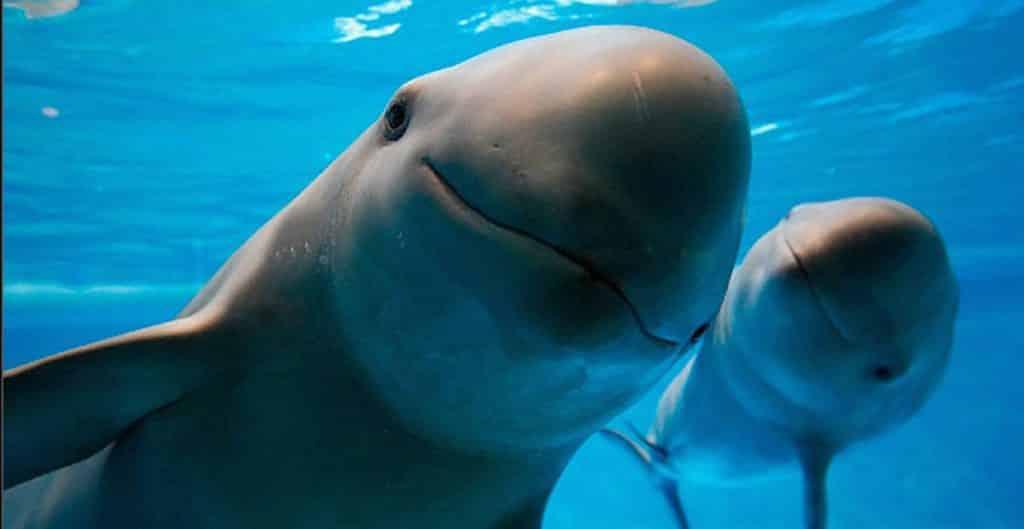 La UNESCO pidió al gobierno de México mayores esfuerzos para evitar la extinción de la vaquita marina. Foto: El Correo