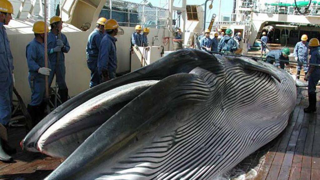 Caza de ballenas en japón. Foto: T13