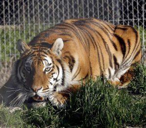 Cinco tigres y tres leones dan positivo a COVID-19