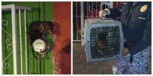 Brigada animal rescata a tlacuache atrapado en Coyoacán