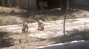 Nacen dos lobos mexicanos en el zoológico de San Juan de Aragón
