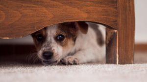 Cómo proteger a los perros de la pirotecnia