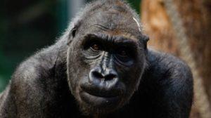 gorilas con coronavirus