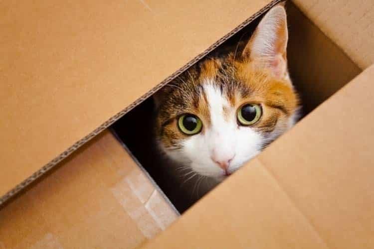 por qué los gatos aman las cajas de cartón